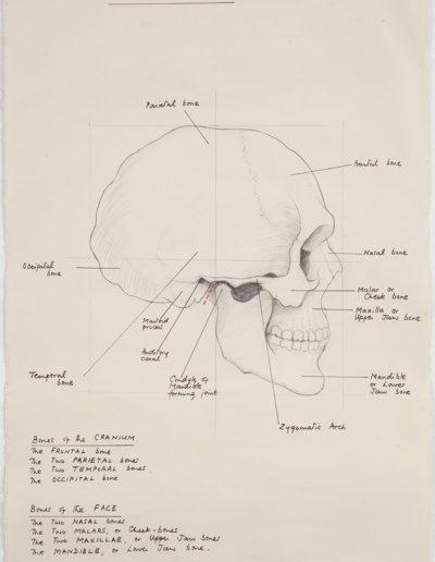 The bones of the skull (study)    c 1947  pencil on paper22 x 15 in (56 x 38cm)